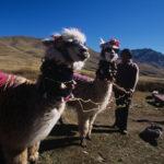 Alpacas en Pumapampa