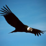 Colca Condor Coboyaca